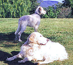Baby Beau with Jessie, my beloved English Setters