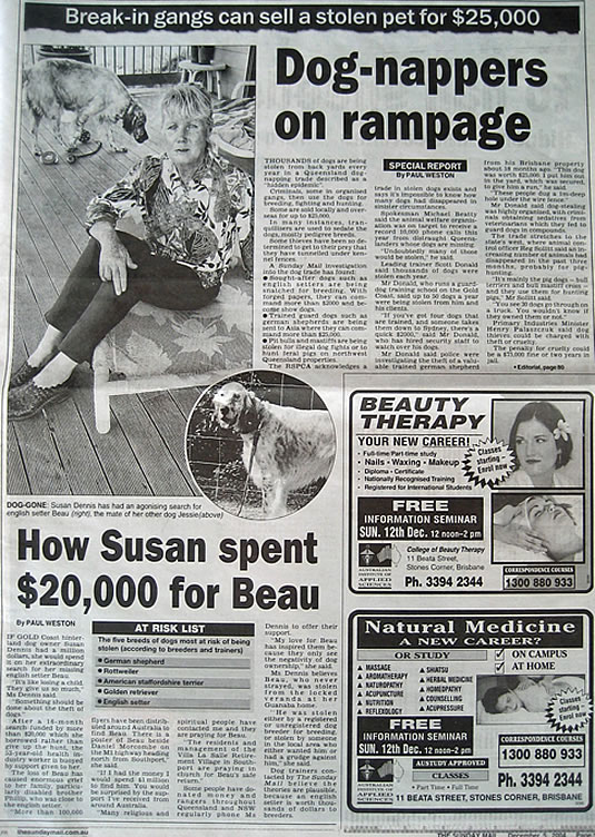 sunday mail, dognapping, finding beau, stolen dog, english setter, help find beau, queensland
